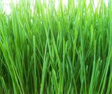 Wheatgrass 유기 추출