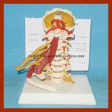 Volledig - Modellen van de Anatomie van de Spieren van de Ruggewervels van de grootte de Luxe Cervicale met Volledige Zenuw