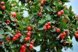 Uittreksel 2.0%~15.0% van de Bes van de haagdoorn Flavones voor het Supplement van het Voedsel