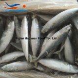 Maquereau de Pacifique de poissons congelé par mer bon marché