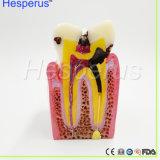 Dentiste pour les sciences médicales enseignant Asin