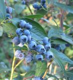 ブルーベリーのフルーツの酵素のエキスの粉
