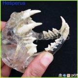 Cat зубов челюсти модель ветеринарных учебных