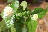 Эфирное масло жасмина для естественных косметик