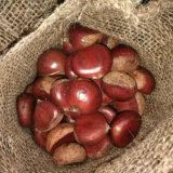 Profissional que exporta a castanha 40-50 fresca