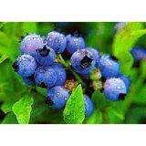 Blaubeere-Blatt-Auszug-Polyphenole 25% durch UV