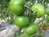 Fertilizzante microbico di Unigrow sulla piantatura organica del pomodoro