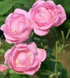 100%Puro y Natural Aceite Esencial + Aceite de Rosa