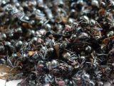 Zwarte Gemengde Polyphenols van de Mier Uittreksel