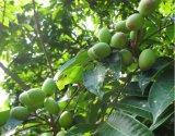 Het Uittreksel van het Blad van de olijf wordt gebruikt voor de Behandeling van Malaria