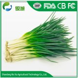 L'Oignon vert frais chinois avec le meilleur prix