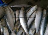 7-8PCS/Kg Bevroren Sardine voor de Vissen van de Sardine van het Aas