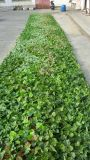 Piante di alta qualità e fiori artificiali della parete verde Gu-Wall00910001