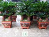 Albero dei bonsai di Revoluta del Cycas