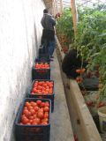 Fertilizante do solo de Unigrow na plantação vegetal