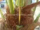напольная пальма даты Seaweed 6meters