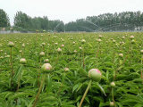 Pivoine fraîche de coupure de fleur herbacée de pivoine