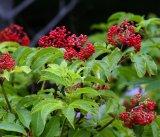 Anthocyanidins выдержки Elderberry для того чтобы активировать циркуляцию крови