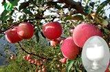 Fabrik-Zubehör-Apple-Schalen-Auszug Phloretin Puder 90%-95%