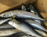 凍結する太平洋のサバの魚の全円形