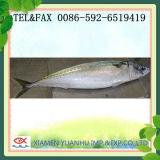 De bevroren Spaanse Vissen van de Makreel