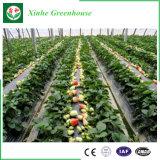 Serra di plastica di agricoltura per frutta