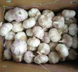 Superiore dell'aglio bianco fresco del nuovo raccolto