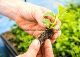 Natürlicher Stevioside Stevia-Auszug der Qualitäts