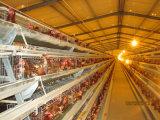 Automatique un type Chambre de poulet de couche avec des cages et des matériels