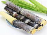 Extrait de cire de canne à sucre de 99% Policosanol, poudre de Policosanol