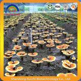 참피나무 사나운 Ganoderma Lucidum 버섯