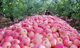 2017 neues Getreide FUJI Apple mit Conpetitive für den Export
