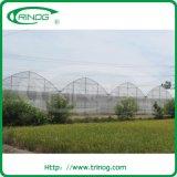 Ciliegia Tomato Greenhouse per coltura idroponica