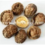 fungo di Shiitake liscio secco 2-6cm del Brown