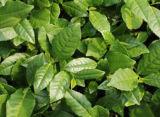 Extrait de thé d'Oolong, poudre d'extrait de thé d'Oolong, 20%-80% polyphénols