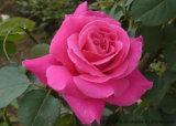 100%Natural Aceite Esencial Puro de Rosa, la destilación, Citronelol 21%, el Geraniol el 8%