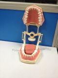 Typodonts dental com os dentes removíveis do parafuso