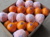 Exportando a laranja de China (S M L)