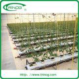 토마토 수확을%s 상업용 수경법 시스템