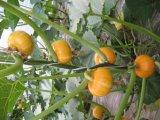 Snow White semillas de calabaza (11cm, 12cm, 13cm)
