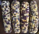 Congelé maïs cireux de couleur sur le COB