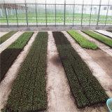 Serra di vetro della Multi-Portata di alta qualità con il sistema idroponico per Angriculture