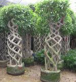 Figura della gabbia del Ficus