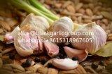 Aglio bianco di colore di aglio