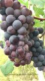 [أونيغروو] سماد [بيو] على عنب, تنين ثمرة وموز يزرع