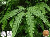 100% натуральным 10: 1 Polypodium Leucotomos извлечения