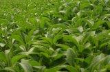 Poeder van de Suiker van Stevia van het Uittreksel van de Installatie van de Natuurvoeding van 100% het Zuivere Bijkomende