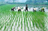 Посевного риса-сырца Transplanter сева риса посевного агрегата станка