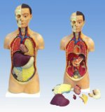 Maschio Xy-3301-3 e torso umani della femmina