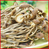 Extrait/polysaccharides organiques sauvages de champignon de couche de Maitake/Maitake